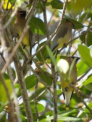 Cedar Waxwing. Cayo Coco, Cuba. (David Ascanio (VENT & Ascanio Birding Tours)) Tags: old david nature vent cuba victor international tours endemic havanna emanuel trogon expeditions tody ascanio birdingcuba