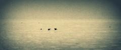 Skimming the Surface (imageClear) Tags: sunset bird art nature beauty wisconsin flying nikon flickr artistic wildlife flight ducks lakemichigan birdsinflight lovely sheboygan photostream bif naturephotography eveing birdphotography skimmingthesurface d7000 imageclear 80400mmafs