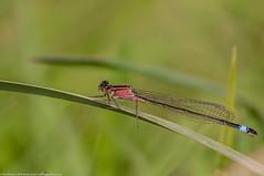 Blue-tailed Damselfly - rufescens (Paul:Ritchie) Tags: nature dragonflies wildlife insects arthropoda damselflies odonata insecta anisoptera zygoptera coenagrionidae ischnura bluetaileddamselfly ischnuraelegans nikond90 sigma70300mmf456apomacrodg paulritchie wwwhampshiredragonfliescouk