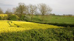 Northamptonshire.. (Adam Swaine) Tags: uk trees england english rural canon landscape countryside spring britain fields northants counties hedges 2014 swaine rapeseedoil