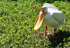 American White Pelican (Pelecanus Erythrorhynchos) (Adventurer Dustin Holmes) Tags: birds animal animals aves pelican stlouiszoo animalia 2014 americanwhitepelican pelecanus pelecanidae pelecaniformes pelecanuserythrorhynchos chordata neornithes neoaves neognathae pelicansbird