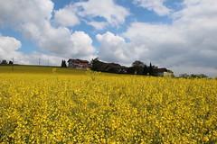 Rapeseed Field (Been Around) Tags: field yellow austria österreich europa europe eu gelb raps oberösterreich europeanunion autriche aut rapeseed 2014 kirchdorf upperaustria a nussbach concordians nusbach bezirkkirchdorf expressyourselfaward