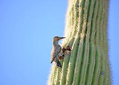 Flicker3115Web (staffordlaura1955) Tags: bird flicker
