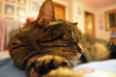 Resting (thomas.hartmann496) Tags: sleeping animal cat photo angle tiger wide perspective resting paws crossed