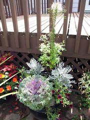 Large Black Container 2 (daryl_mitchell) Tags: summer flower home garden container saskatoon saskatchewan brassica 2014 cleome jacobaea calibrochoa