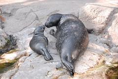Cucciolo di foca con la mamma (AcquarioVillage) Tags: travel sea nature aquarium mare famiglia weekend genoa genova leisure viaggi lovenature foca tempolibero acquariodigenova foche acquariovillage