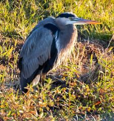 _AAC7908.jpg (Lake Worth) Tags: bird nature birds animal animals canon wings florida wildlife feathers wetlands everglades waterbirds southflorida 2xextender sigma120300f28dgoshsmsports