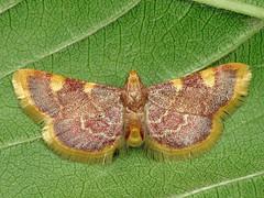 Hypsopygia costalis (Ryszard I) Tags: macro moth hypsopygiacostalis