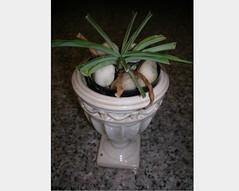 Cactus-Tillandsia-12 (cuirung) Tags: jade gollum haworthia airplant crassula felina faucaria perforata tigerjaw cactustillandsia bulbbolsa
