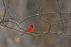 Cardinal (SaunTek) Tags: bird nature cardinal wildlife