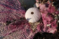 Sea fan and egg (urchin) (Simone Scott) Tags: cayman seashore caymanislands brac treasures seaurchin seaegg caymanbrac seafan simonescott