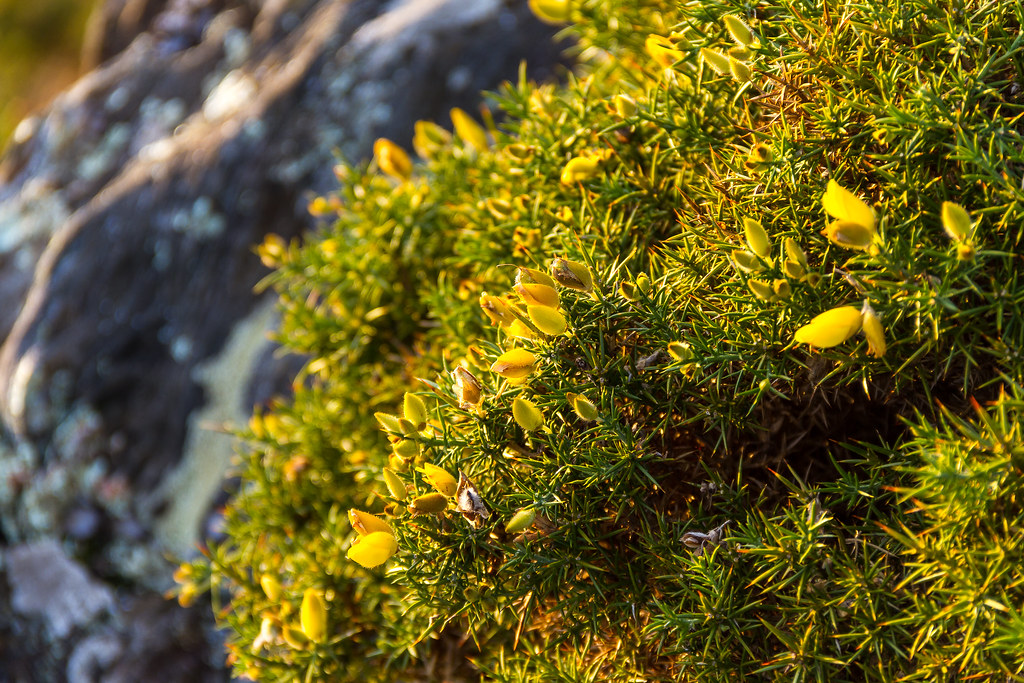 tojo dfvergara tags espaa flores verde planta galicia amarillo monte tojo panxon nigrn