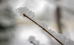 Snow On Twig