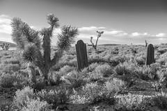 Joshua Trees & 2 Graves (joeqc) Tags: old white black west tree abandoned cemetery grave graveyard canon blackwhite desert joshua nevada naturallight nv forgotten mojave western lonely decrepit 6d delamar greytones ef2470f28l rurex ruraltown lonex