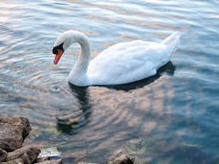 the princess of the pond (LotusMoon Photography) Tags: nature beautiful birds swan pond graceful