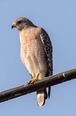 _AAC9099.jpg (Lake Worth) Tags: bird nature birds animal animals canon wings florida wildlife feathers wetlands everglades waterbirds southflorida 2xextender sigma120300f28dgoshsmsports