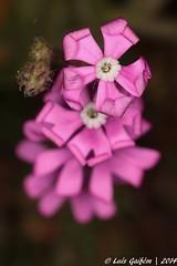 Silene scabriflora Brot. (Lus Gaifm) Tags: flower macro planta nature natureza flor plantae mindelo caryophyllaceae silenescabriflora lusgaifm