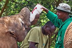 David Sheldrick Elephant Orphanage - Alamaya 4 (Grete Howard) Tags: safariinafrica safari whichsafaricompany bestsafaricompany calabashadventures travel holiday africa kenya elephants davidsheldrickwildlifetrust elephantorphanage wildelife animals nairobi