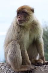 Barbary Macaque Posing (sophiehep) Tags: monkey posing ape macaque barbary gibralta