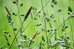 . (rscholle) Tags: green spring outdoor natur pflanze feld wiese gras landschaft