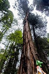 IMG_3577.jpg (edcool1_1) Tags: yotsuba yotsubato revoltech yotsubayosemite         neldergrove shadowofthegiants sequoia redwood giantredwoods forest trees