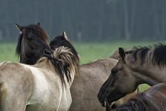 Mustangs and Wild Horses - 2016-0030_Web (berni.radke) Tags: horse pony mustang pferd nordrheinwestfalen colt wildhorse foal fohlen croy herde dlmen feralhorses wildpferdebahn merfelderbruch merfeld przewalskipferd wildpferd dlmenerwildpferd equusferus wildpferdefang dlmenerpferd dlmenpony herzogvoncroy wildhorsetrack