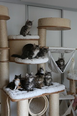 Bunch of happy kittens on RUFI cat tree (Titran's Norsk Skogkatt) Tags: titran nfo rufi titrans