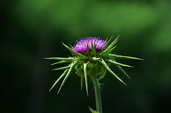 dettagli (ecordaphoto) Tags: flower verde nature nikon purple thistle violet natura spine thorns nikkor viola formica cardo spina ragnatela 55300 d5100