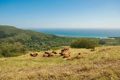 In A Meadow Over The Sea (kirstenscamera) Tags: california ca blue wild green nature field grass animals outdoors nikon cows meadow bigsur sunny pch pacificocean somewhere pacificcoasthighway browncows