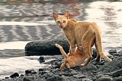 isn't she lovely (DOLCEVITALUX) Tags: cats animal kitten feline philippines nursing canonpowershotsx50hs