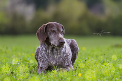 Weimaraner, Dog (Albert Photo) Tags: wild dog pet game green field smart pose stand pointer fierce outdoor watch hunting large weimaraner terrible stare posture fearful royalty position confidence gundog bigboss