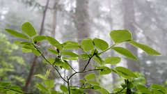 A foggy hike on Mount Seymour (planted city) Tags: trees canada mountains nature fog vancouver clouds forest hiking britishcolumbia hike coastal northshore northvancouver pnw coastmountains vitaminn