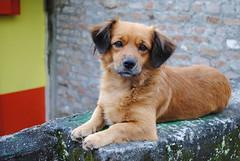 Criollo (arielmurillo) Tags: dog criollo