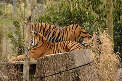 Islands at Chester Zoo (159) (rs1979) Tags: zoo islands tiger chester sumatrantiger chesterzoo