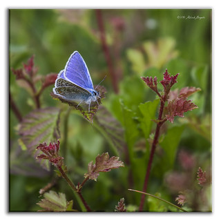 Blue on Red - Common Blue Butterfly (Polyommatus icarus) m [Explored]