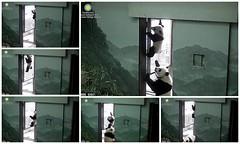 But I like to climb, mom (heights.18145) Tags: bear panda pandabear meixiang yearofthemonkey endangeredspecies pandacub beibei smithsoniansnationalzoo climbingbear ccncby