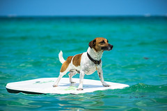 Safari surfing the ocean (valtersboze) Tags: ocean dog dogs water funny jrt surf waves minolta florida miami surfing safari beercan tropical f4 jackrussellterrier 70210 valtersboze laea4 sonya7ii wwwvaltersbozecom