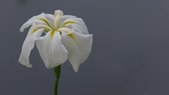 Speak the 2 (Nobuyuki Ikeda) Tags: iris white flower yellow japan landscape sony  toyama     nanto  inami      nex6