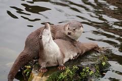 Fischotter - Prchen (fabiantobias1) Tags: wildlife otter pforzheim prchen wildpark fischotter europeanotter