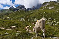 Kuhwanderung (vivalatinoamerica) Tags: mountains alps schweiz switzerland cows wolken berge alpen landschaft wandern khe uri weg alpin gebirge pfad golzern maderanertal rinder bristen fotolia