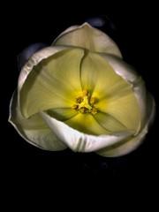 (potent2020) Tags: whiteflower whiteyellow