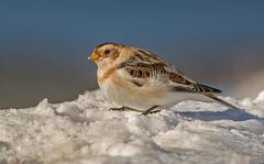 JWL5598  Snow Bunting. (jefflack Wildlife&Nature) Tags: nature birds countryside wildlife moors avian cairngorms bunting songbirds buntings snowbunting wildbirds coastalbirds