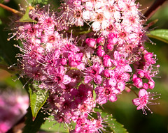 Spirea (Fortuitous Light) Tags: flowers macro nature garden blooms spirea fantasticflower
