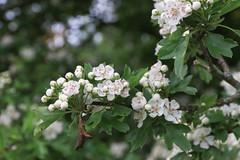 Blossom (Snoflake2013) Tags: tree spring blossom