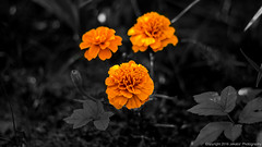 Marigolds. (Jekabs' Photography) Tags: flowers bw nature closeup selectivecolour