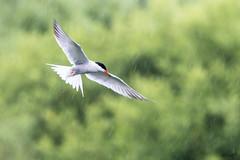 Heron & Tern, Brandon Marsh, Warwickshire (hman01uk) Tags: tern warwickshire brandonmarsh