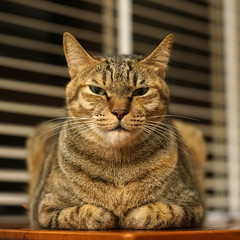 DSC09411S (lazybonessss) Tags: leica cat kitten nana summicronm50 sonya7 sonyilce7