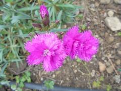 1144 (en-ri) Tags: flowers sony fiorellini garofani sonysti