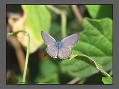 Blues & Heath-blues (Douglas Dew butterflies) Tags: plumbago blue leptotes plinius