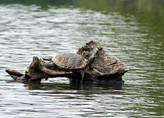 perfect turtle perch (WMJ614) Tags: nature lumix log turtle pennsylvania painted wildlife lounge amphibian panasonic perch slider rest bask memoriallake redeared fz1000